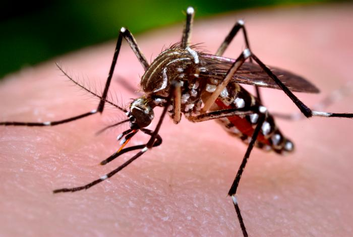 Rossmoor Homeowners Association- image of Aedes aegypti mosquitoe